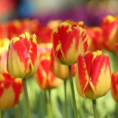Тюльпан Банья Лука - упаковка 5шт