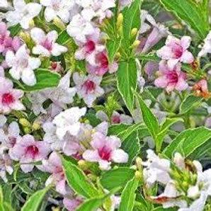 Вейгела цветущая Сюзанна (горшок 2л)