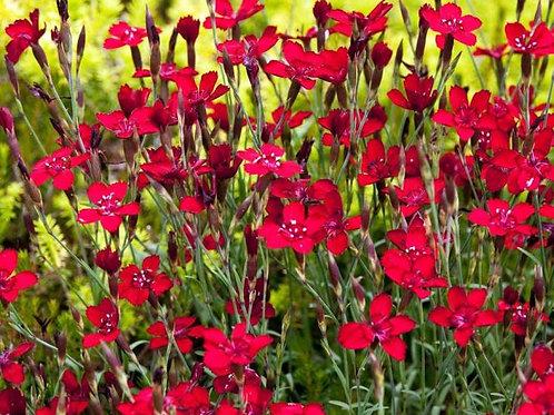 Гвоздика травянка  Конфетти Ред(горшок 1л)