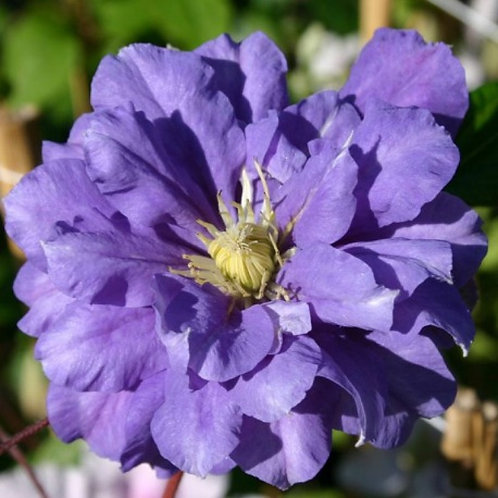 Клематис крупноцветковый Кири Те Канава
