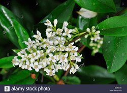 close-up-of-the-flowers-and-leaves-of-wild-privet-ligustrum-vulgare-BMNC66