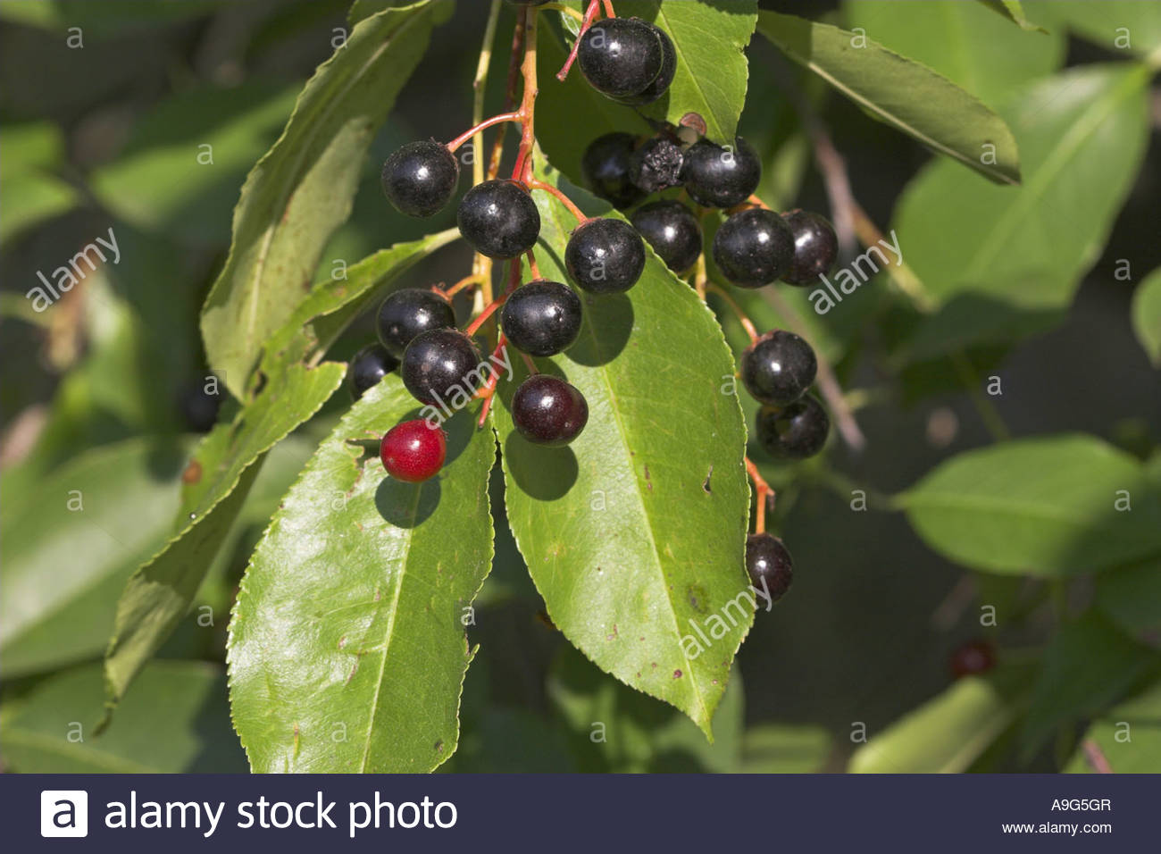wild-black-cherry-prunus-serotina-mature-fruits-A9G5GR