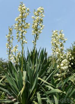 yucca-filamentosa