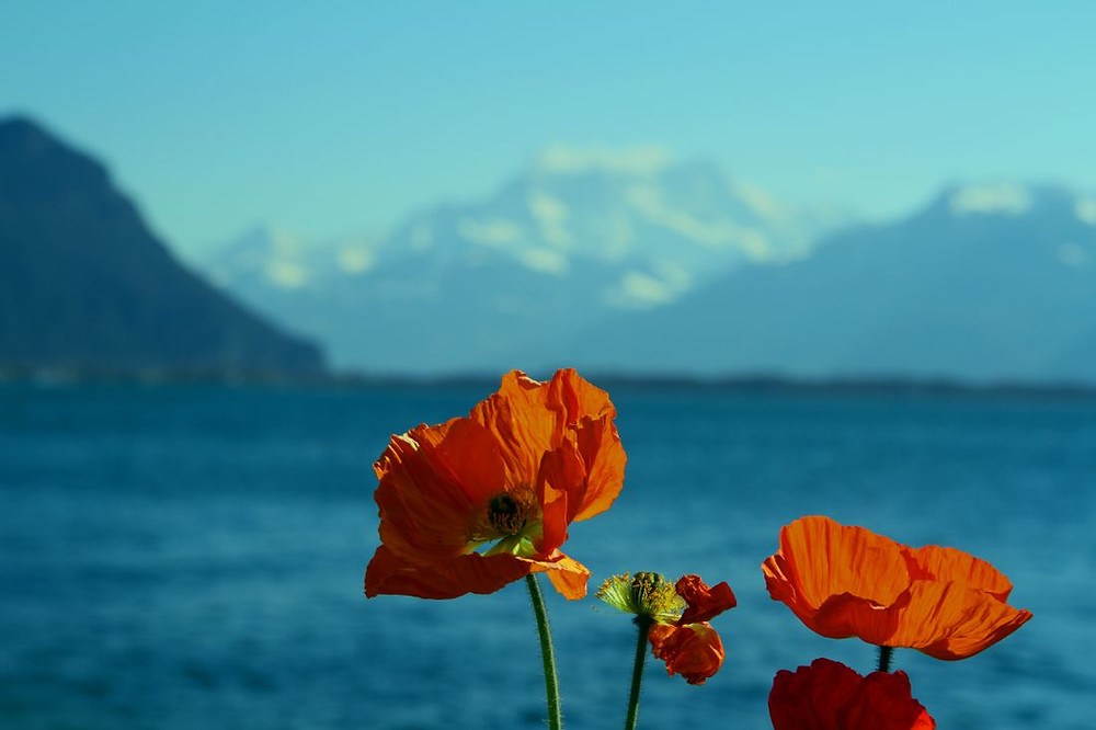 Swiss Poppies - Kris Ohlsson