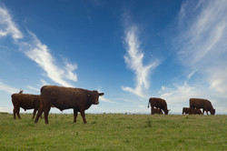 The Cornish Cows