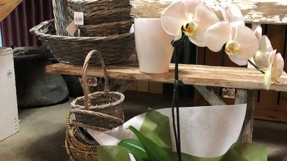 White Phalaenopsis in Ceramic Pot (O1)
