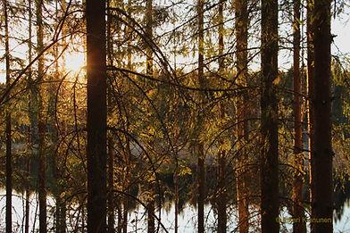 Kuvassa kuusia, joiden takaa pilkistää kultainen ilta-aurinko ja majavalampi.
