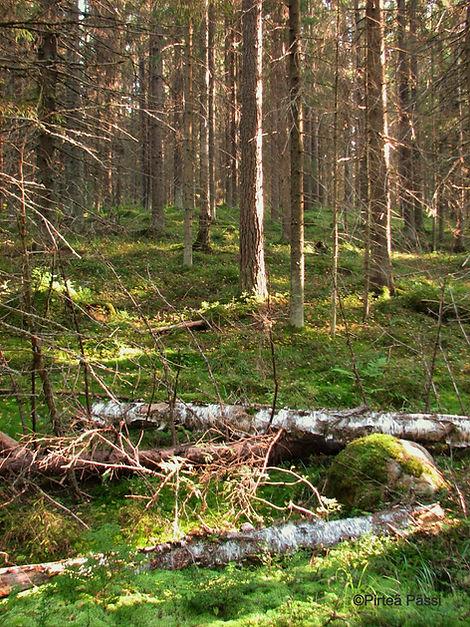 Kuvassa metsämaisema. Etualalla kaksi kaatunutta koivua.