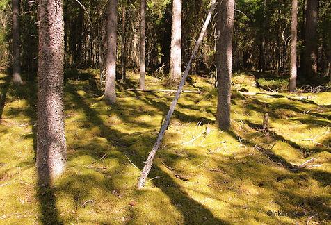 Kuvassa sammaleista kuusimetsää. Puut ja niiden varjot luovat voimakkaan syvyysvaikutelman.