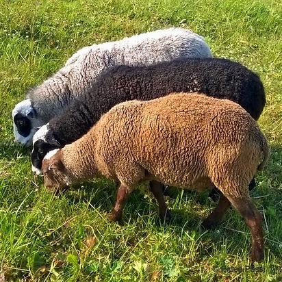 Kuvassa kolme lammasta laiduntaa vierivieressä nurmikkoa. Kaikki lampaat ovat eri värisiä.