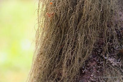 Kuvassa lähikuva naavasta puun rungolla.