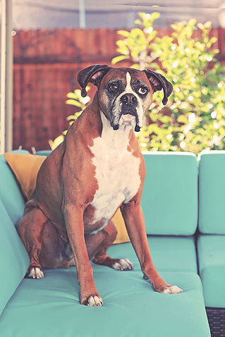 bigstock-cute-boxer-sitting-on-a-patio--
