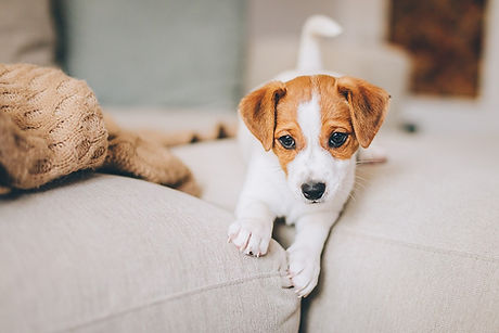 bigstock-Adorable-Puppy-Jack-Russell-Te-