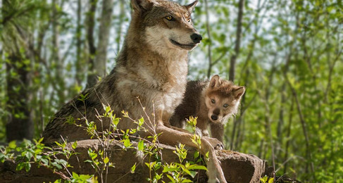 Does Killing Coyotes Increase Their Population?
