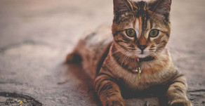 NH Bill Seeks To Prevent 'Hit and Runs' With Cats, HB 1123