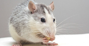 7 Surprising Facts About Rats