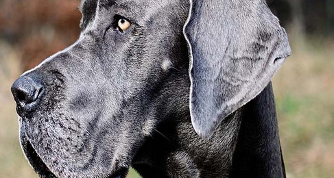 Defendant In NH Great Dane Case Found Guilty