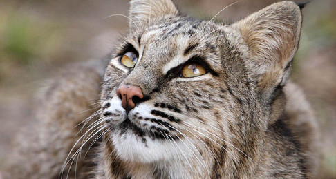 SAVE NH BOBCAT: Submit A Comment to NH Fish & Game