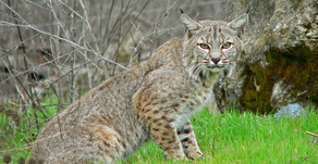 NH Bobcat Update: Proposed Trophy Hunting Season