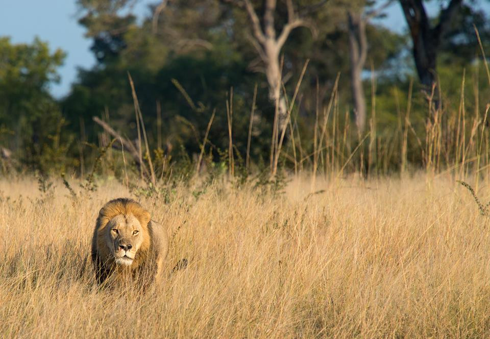 Xanda, Son of Cecil the Lion, Before Death By Trophy Hunter