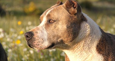 NH House Passes Animal Fighting Paraphernalia Ban