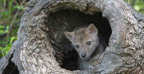 NH House Votes No On Protecting Coyote Pups