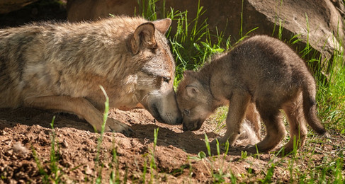 NH Bill Seeks To Protect Coyote Pups From Inhumane Deaths
