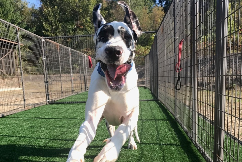 Wolfeboro NH Great Dane Trial Dogs Adoption Process Begins