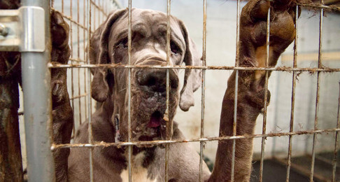 Wolfeboro NH: Defendant In Great Dane Case Found Guilty By Jury