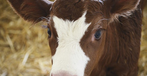 California Says No to Extreme Confinement of Baby Veal Calves, Pigs & Hens