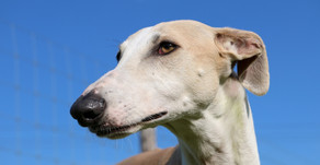 FL: 10 Reasons to Vote YES on Dog Racing Ban, Amendment 13