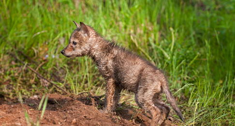 NH Coyotes: House Fish & Game Misses The Mark