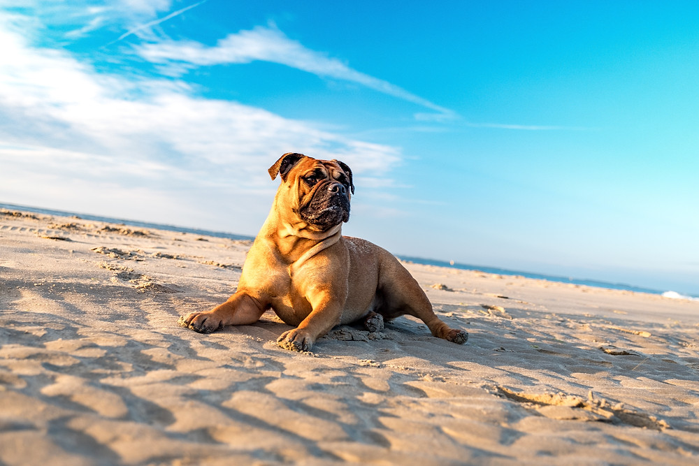 wrinkley dog at beach