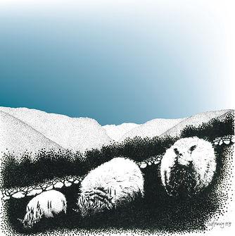 blank greetings card of 3 sheep and Aran Fawddwy