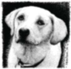 goldpet portraitn labrador