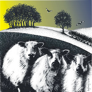 square blank greetings card of 3 sheep near Bont Dolgadfan
