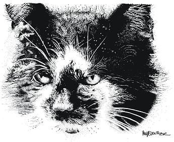 black and white tom cat pet portrait