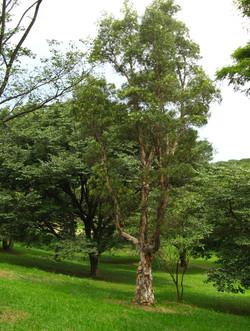 Melaleuca_quinquenervia_Tree_1