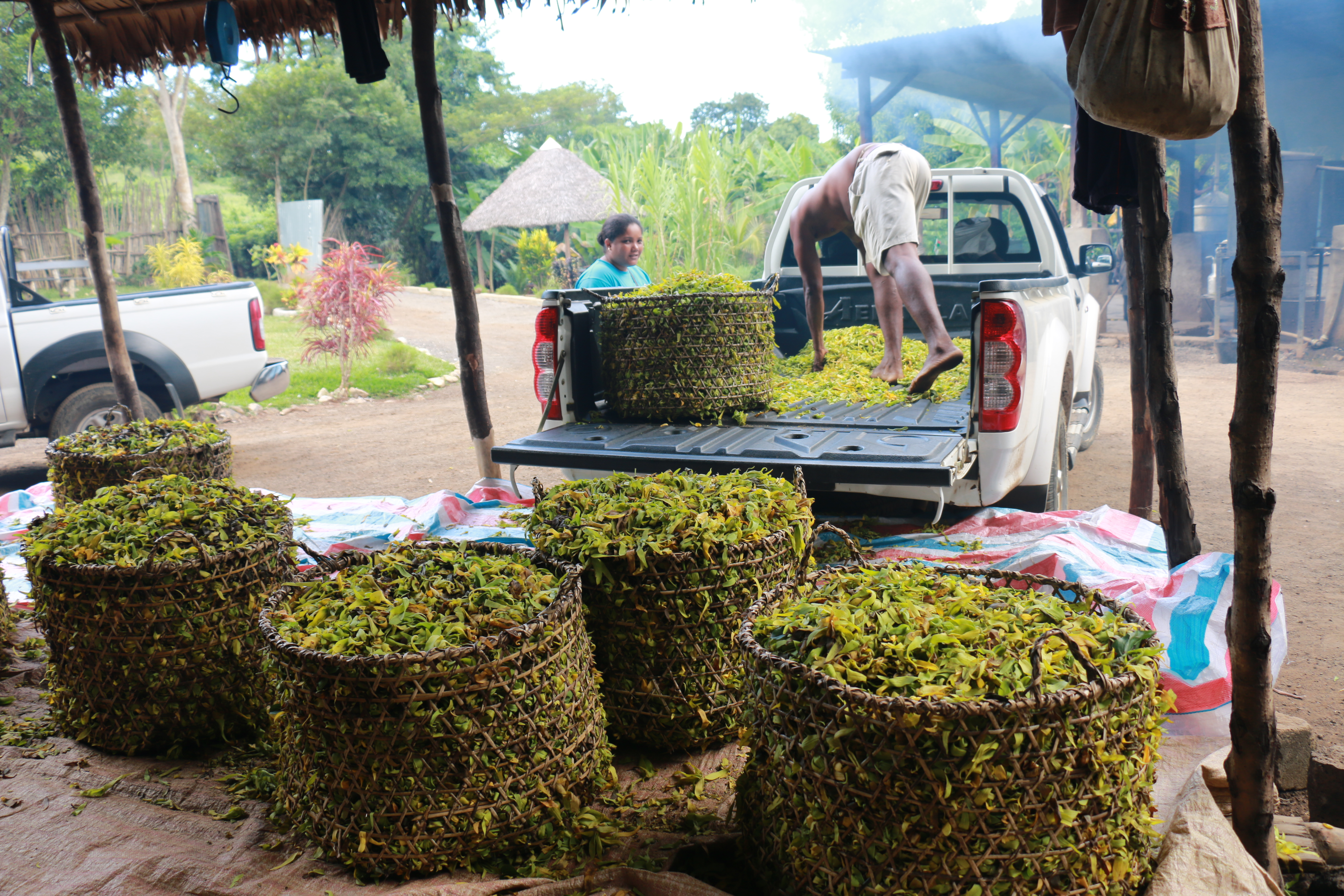 Déchargement des fleurs d'Ylang
