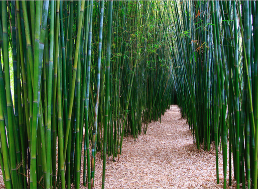 Miners now required to establish bamboo plantations at site