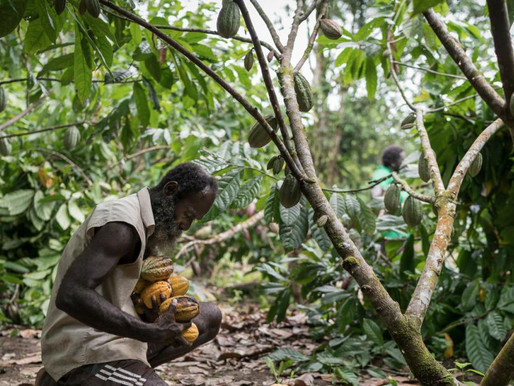 Cocoa Farmers Have Better Access to Markets