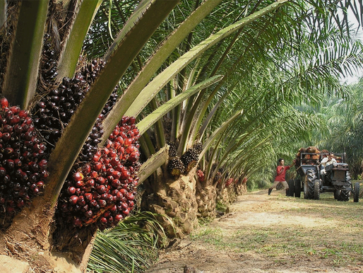 Palm Oil Prices Increase