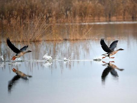 Yaban Kazları ( Wild Geese )