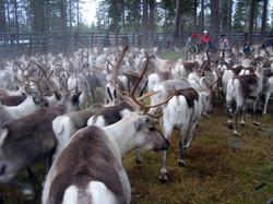 Sodankylä poroerotus