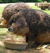 Wedge Oak Farm adds Mangalitsa Pork