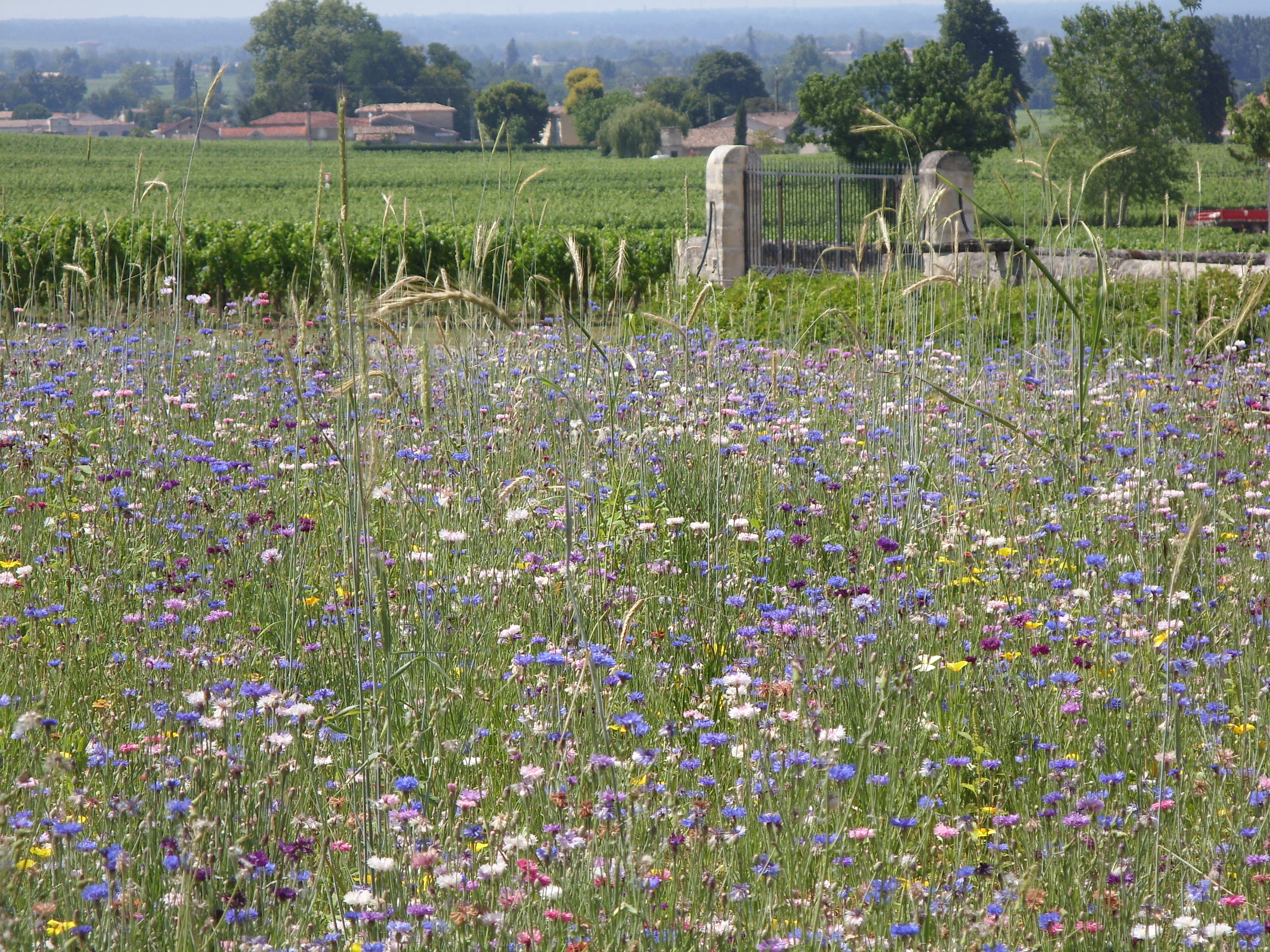 Flower Meadow, St Emilion