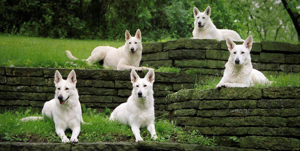 Echo Dogs White Shepherd Rescue