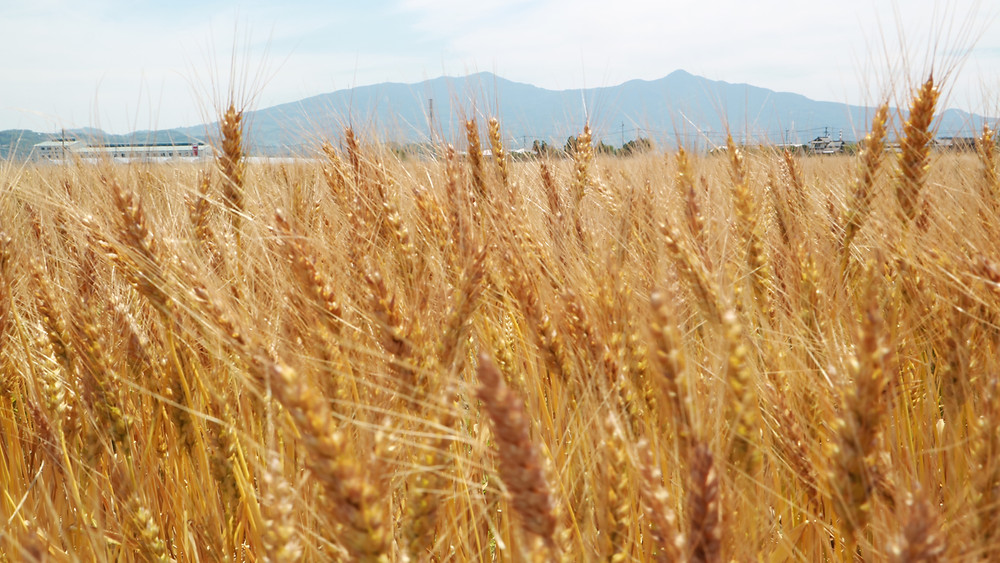国内唯一の小麦のフードフェス『麦フェス2021』開催