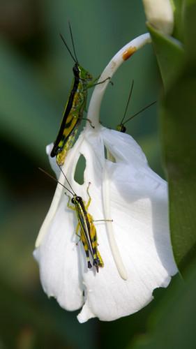 Grasshoppers Amazon Tourism