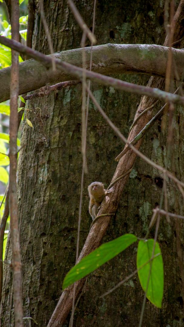 Tamarin Amazon Tourism